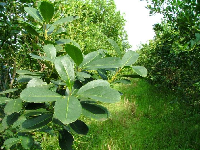plantacion-yerba-mate-1-696x522