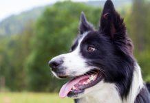 La UBA entrena perros para la detección de coronavirus