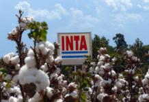 Semillas de algodón creadas por el INTA.jpg_large