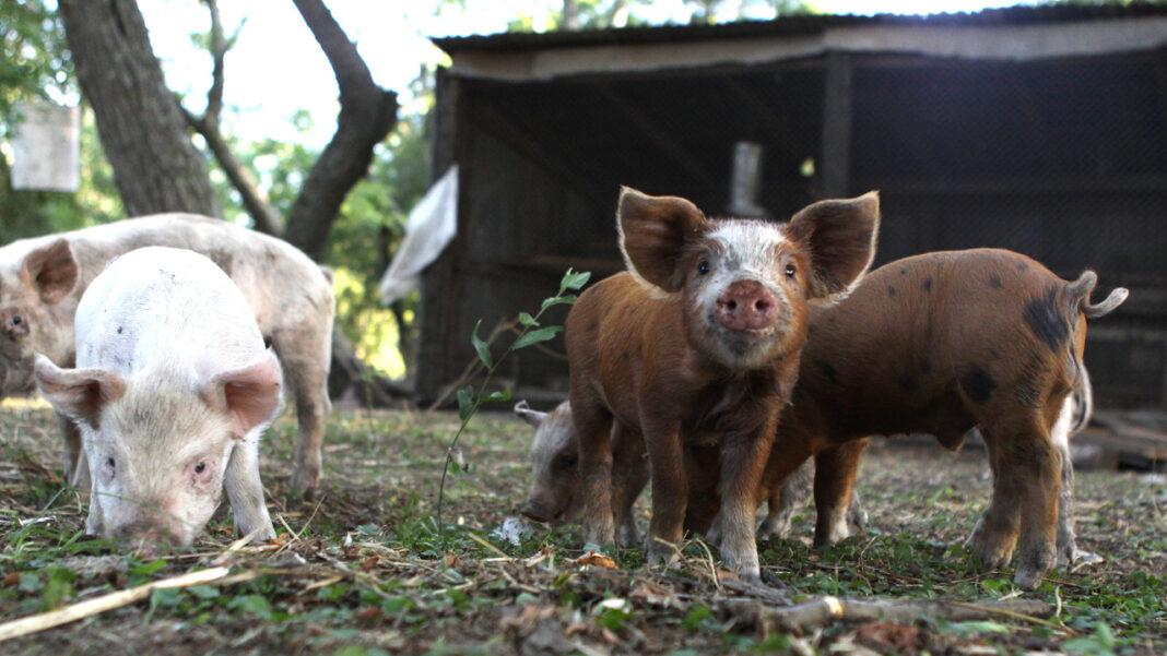 cerdos, triquinosis