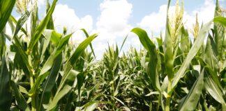 Maizar maíz