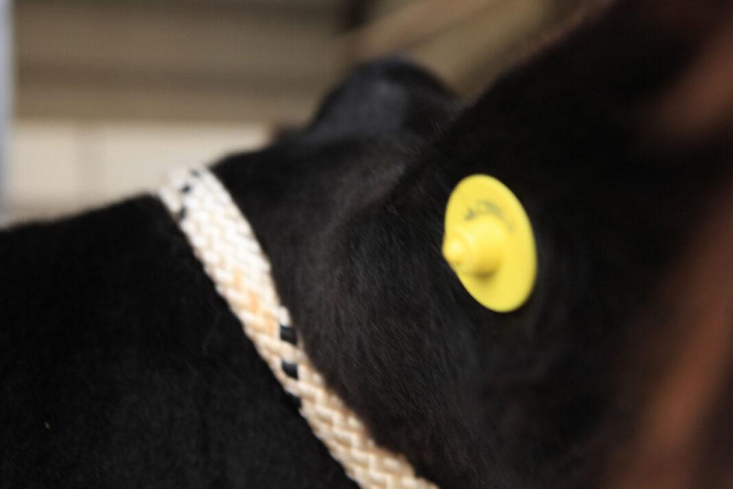 Dispositivos para identificar bovinos.