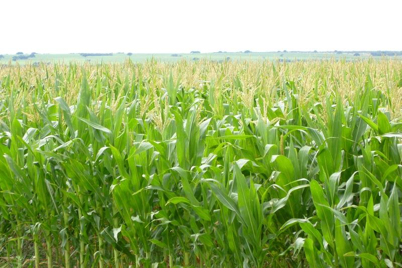 estatus de nitrógeno en maíz
