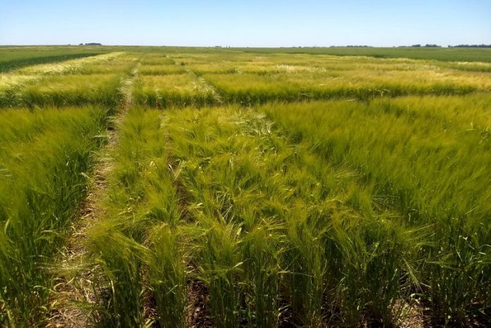 cebada agroecológica