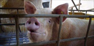 estrés calórico en porcinos