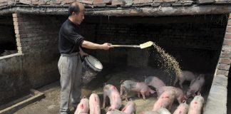 peste porcina africana en China