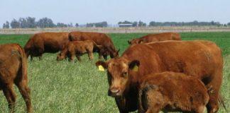 tacto- ganadería de cría