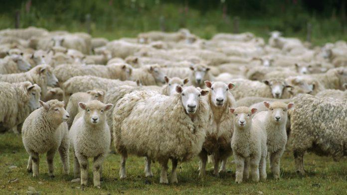 lana ovina sucia