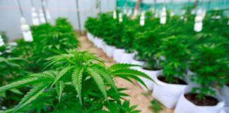 cannabis para uso medicinal