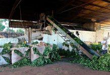 industrialización de yerba mate