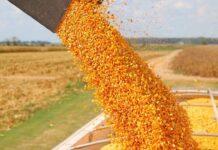 maíz con destino comercial