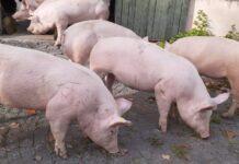 cerdos reproductores de Canadá