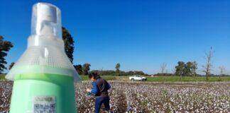 picudo del algodonero