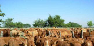 Acidosis ruminal en bovinos