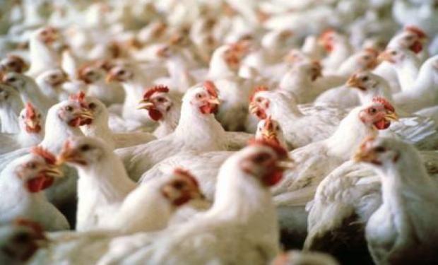 productor integrador de pollos