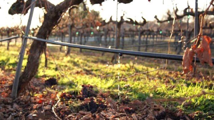 sequía, viñateros de San Juan