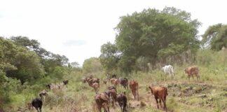 sequía, ganadería