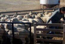 créditos ley ovina