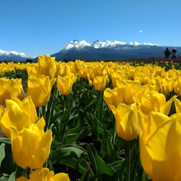 tulipanes flor