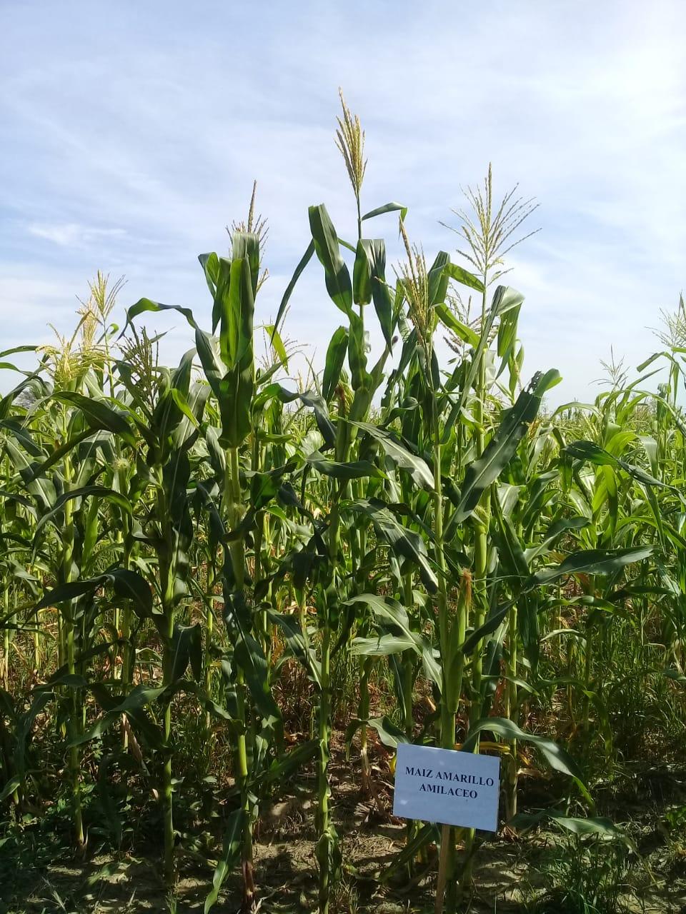 maíz Avatí Sa'yju