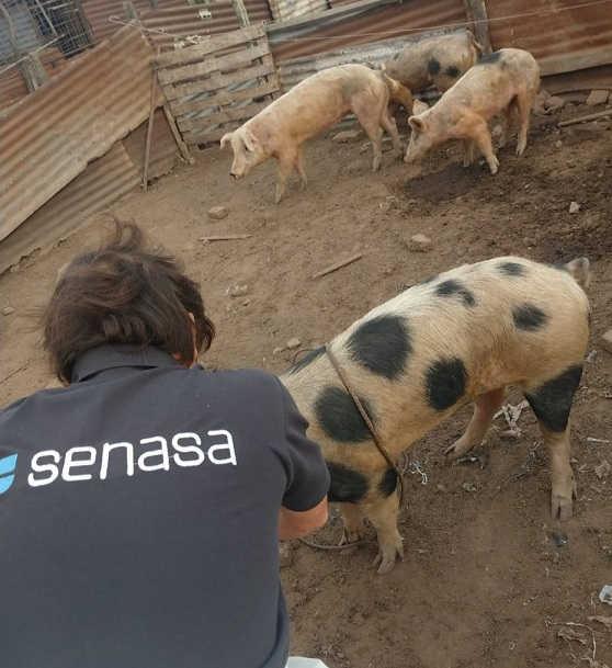 triquinosis cerdos