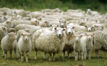 ley ovina ganadería