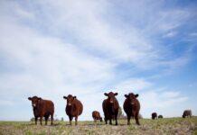 stock bovino